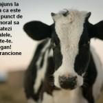 Vacile de lapte - mame indurerate