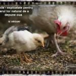 Gainile - exploatate pentru darul lor natural de a depune oua - fii VEGAN!
