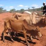 Vaci emaciate de foamete si sete in Kenya